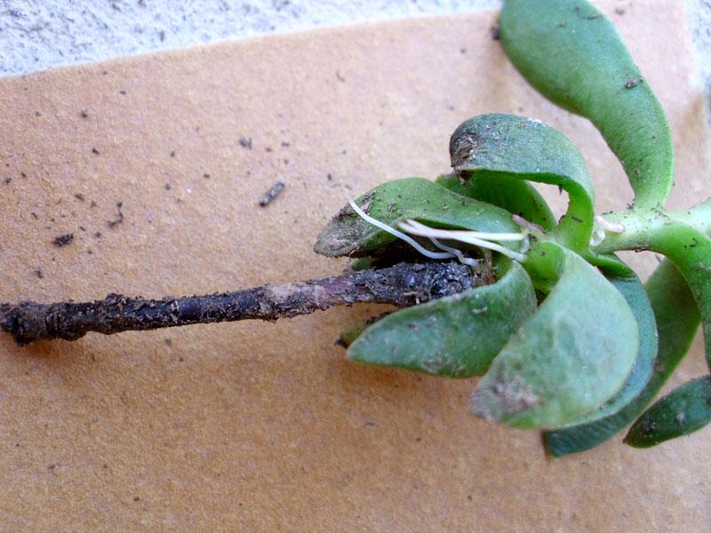 Plantation et culture des plantes grasses for Plante succulente exterieur