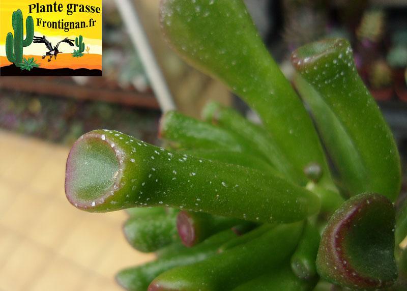 Crassula ovata gollum for Plante 7 feuilles