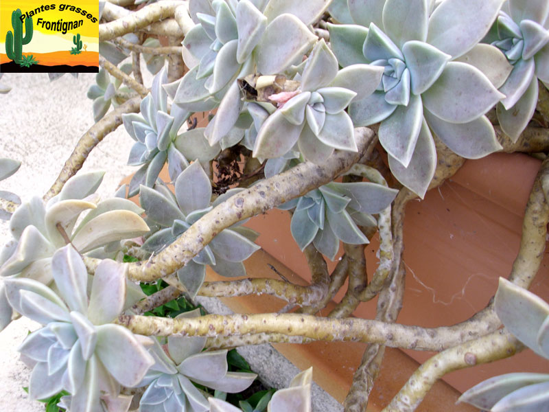 Graptopetalum paraguayense - Plante grasse retombante ...