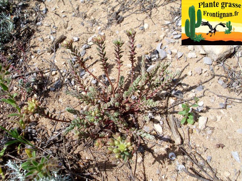 Petrosedum ochroleucum - Plante grasse retombante ...
