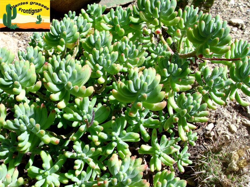 Sedum pachyphyllum for Soldes plantes vertes