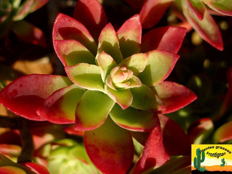 Sedum palmeri - Plante grasse rouge ...
