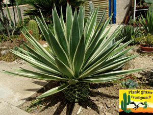 Agaves mediterraneennes for Plantes exterieur resistant gel