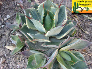 Agaves mediterraneennes for Plante qui pique