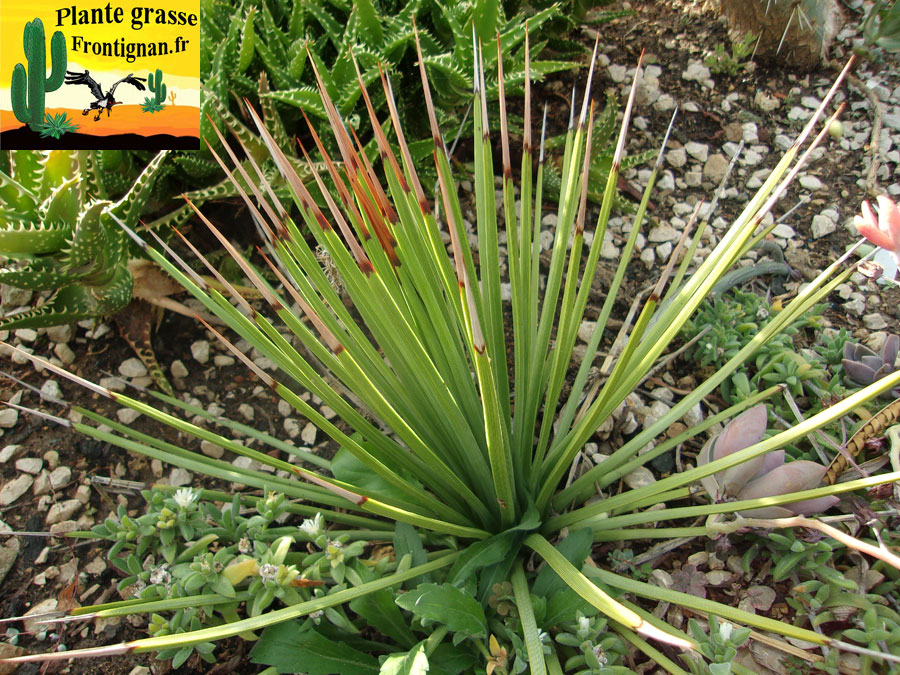 Agaves mediterraneennes for Cactus exterieur resistant au froid