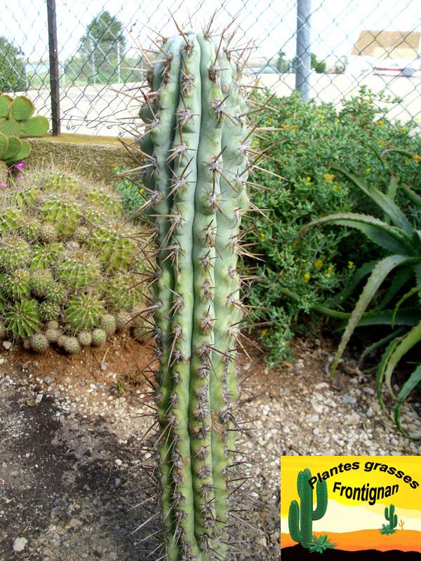 cactus cierges mediterraneens rustiques. Black Bedroom Furniture Sets. Home Design Ideas