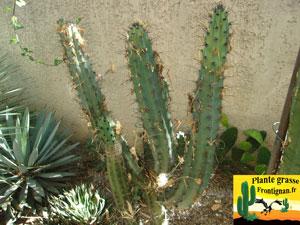 Cactus cierges mediterraneens rustiques for Cactus exterieur resistant au froid