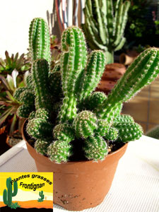 Cactus mediterraneens rustiques for Cactus exterieur resistant au froid