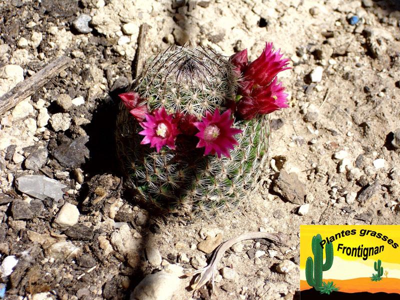 petit cactus fleuri mammillaria matudae. Black Bedroom Furniture Sets. Home Design Ideas
