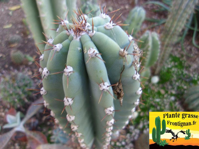 cactus cierges mediterraneens rustiques