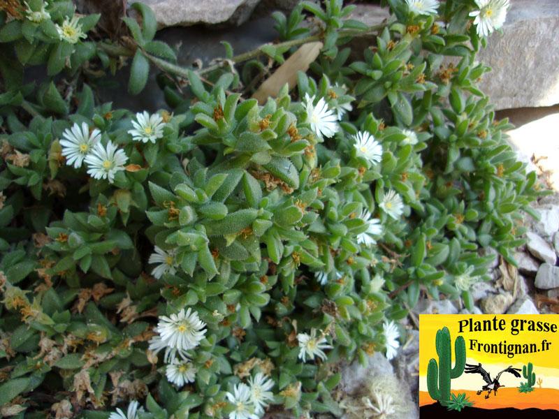 Ficoides et couvre sols mediterraneens for Grande plante grasse exterieur
