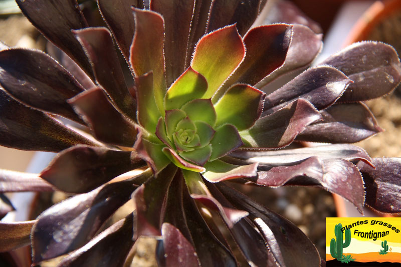 Le genre aeonium - Plante grasse rouge ...