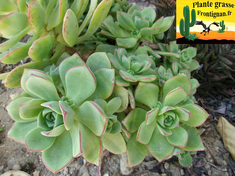 plante resistant au soleil good crassula rubricaulis with plante resistant au soleil excellent. Black Bedroom Furniture Sets. Home Design Ideas