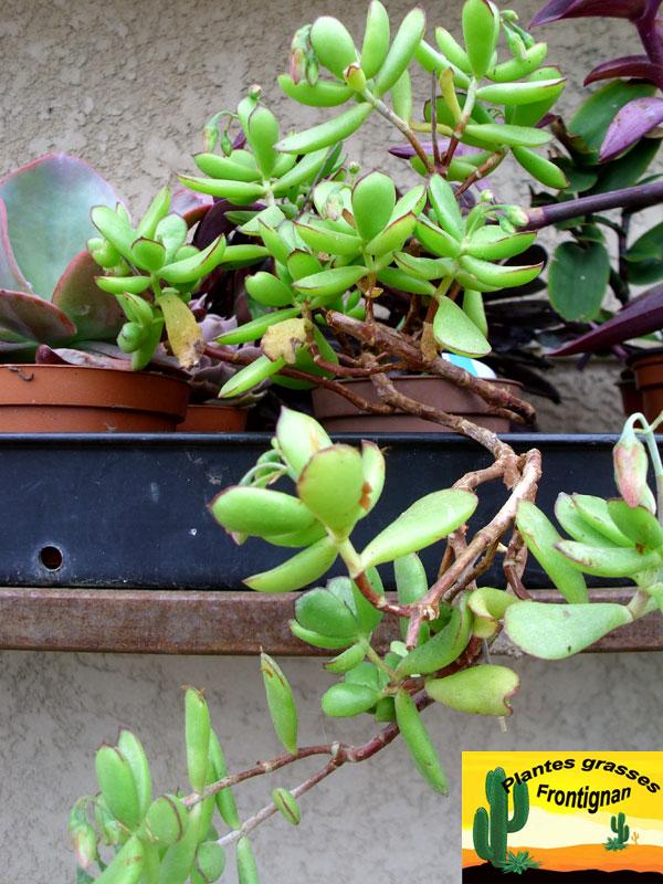 plante grasse retombante gallery of crassula pellucida ucalico kittenu pot cm with plante. Black Bedroom Furniture Sets. Home Design Ideas