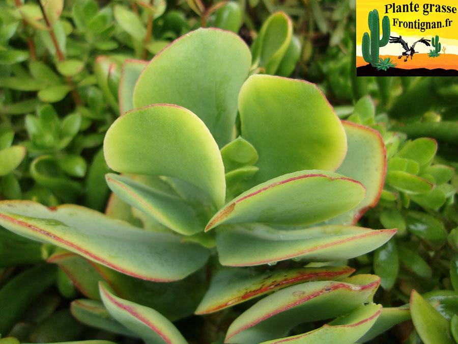 Crassula arborescens ssp undulatifolia for Plante crassula