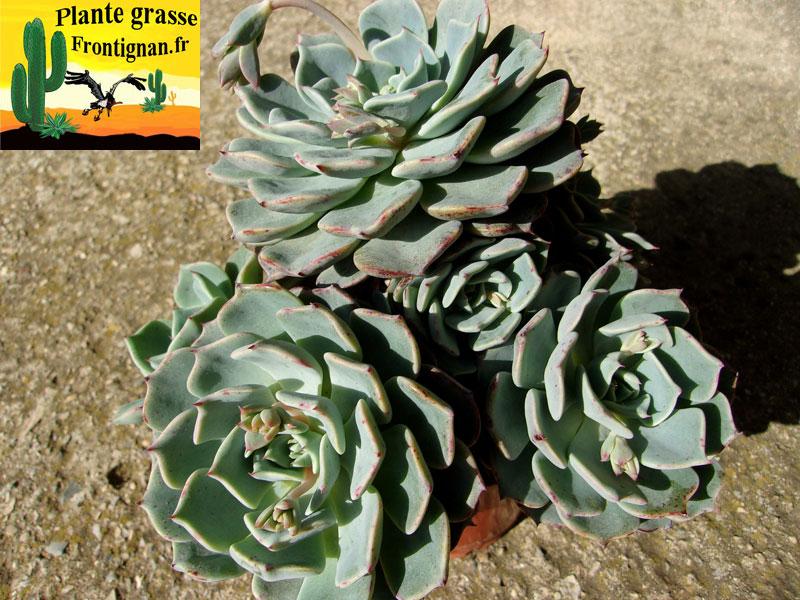 Echeveria - Plantes resistant au vent et au soleil ...