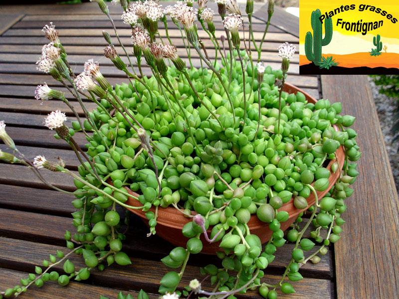 plante grasse collier de perle