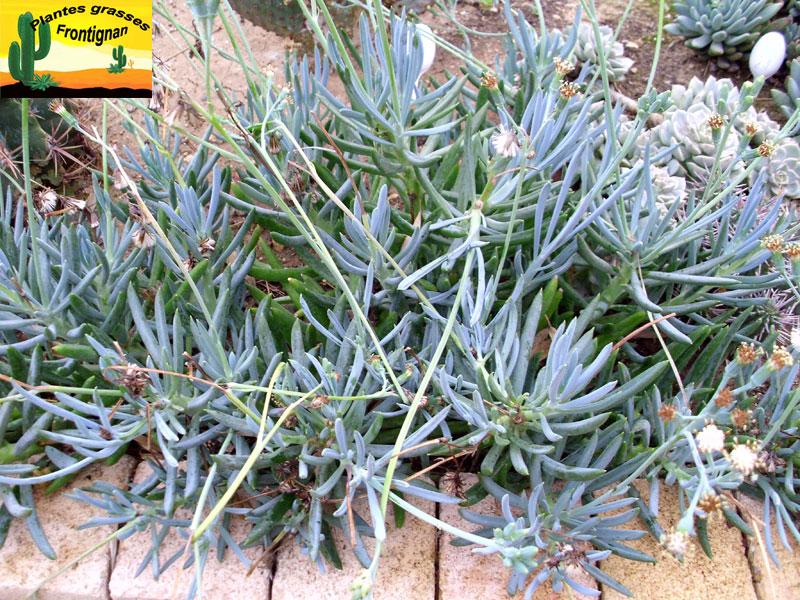 Senecio serpens - Arrosage plantes grasses ...