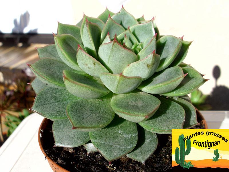 Echeveria fabiola - Plante grasse rouge ...