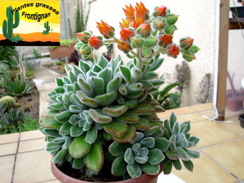 Plante Grasse Exterieur Rustique.Echeveria Identification