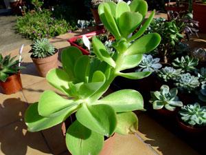 Echeveria for Grande plante grasse exterieur